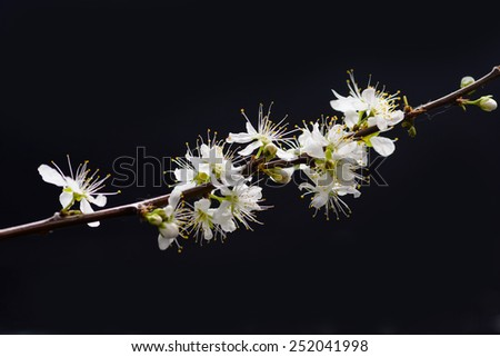 Branch with apricot flowers on a dark background - stock photo