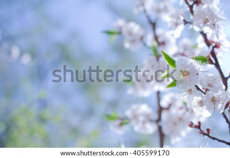 Branch with beautiful apricot flowers against the background of a blue sky in the spring as a flower spring background (selective focus on the flowers with copy space on the left for your text) - stock photo