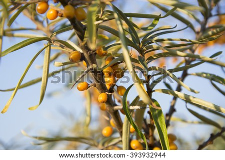 Branch with berries of sea buckthorn and green leaves. Selective Focus.