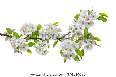 Branch with blossoms isolated on white - stock photo