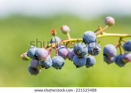 branch with blueberries, shallow depth of field - stock photo