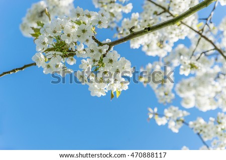 Branch with cherry blossoms against a blue sky  /  cherry blossoms /  cherry wood