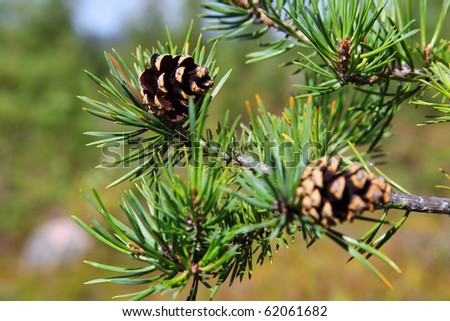 Branch with cones
