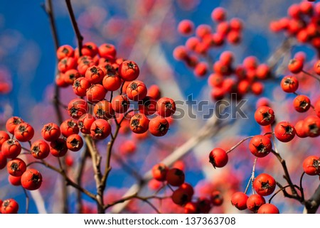 Branch with fall or winter red berries on a bold blue sky - stock photo