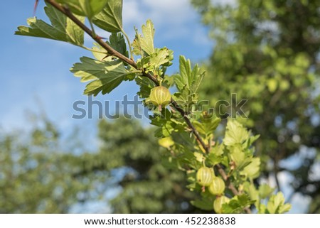 Branch with gooseberry berries and blue sky - stock photo