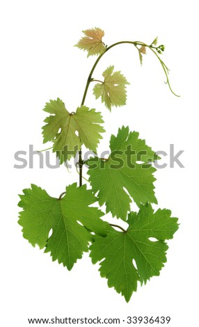 branch with grape leaves - stock photo