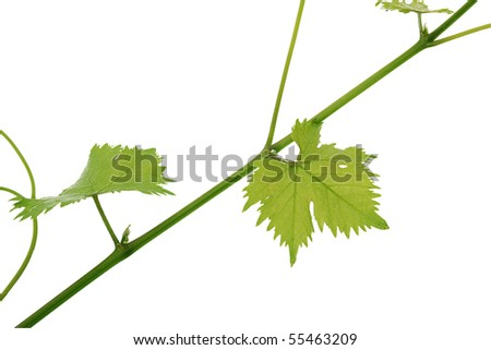 Branch with grape leaves