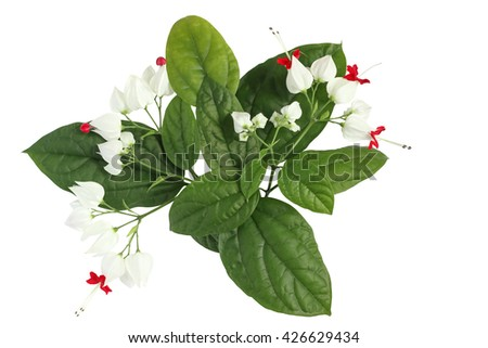 branch with green leaves and white flowers. Isolated on white background - stock photo