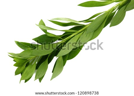 Branch with green leaves, isolated on white