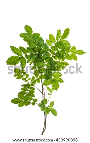 branch with green leaves isolated on white background - stock photo