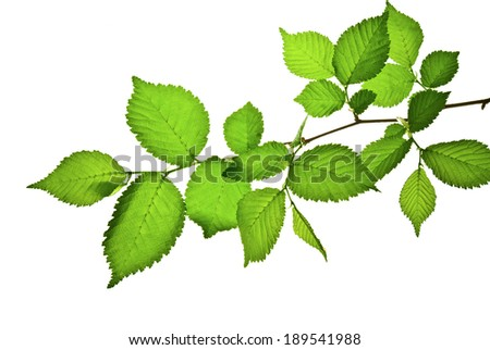 Branch with green toothed leaves isolated on white    - stock photo
