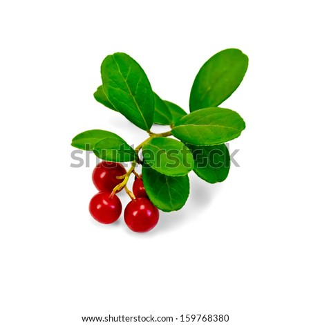Branch with leaves and red berries ripe lingonberries isolated on white background - stock photo
