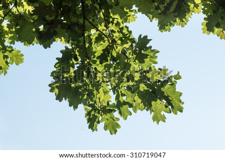branch with oak leaves in  blue sky