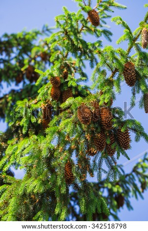 branch with pine cones against the sky - stock photo
