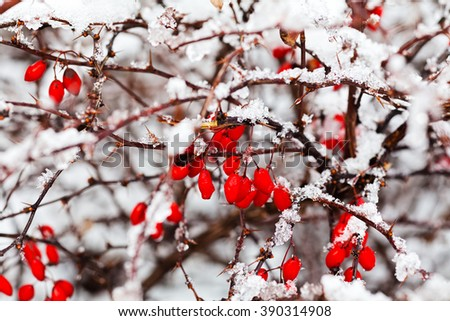 Branch with red berries covered with snow on a frosty day; note shallow depth of field - stock photo