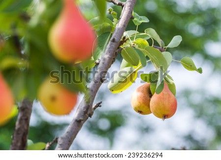 Branch with ripe juicy pears - stock photo