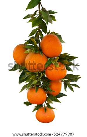 branch with  tangerine fruits on white background