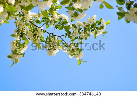 Branch with white blooming apple flowers on the background of the clear blue sky under bright sunlight - spring floral background. Soft focus processing - stock photo