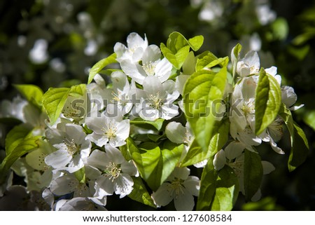 branch with white blossoms on a spring afternoon - natural background - close up with shallow DOF - stock photo