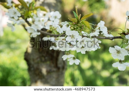 Branch with white cherry / Cherry / cherry wood
