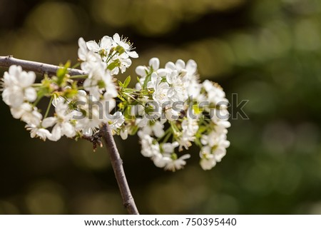 branch with white flowers in nature on the blur background