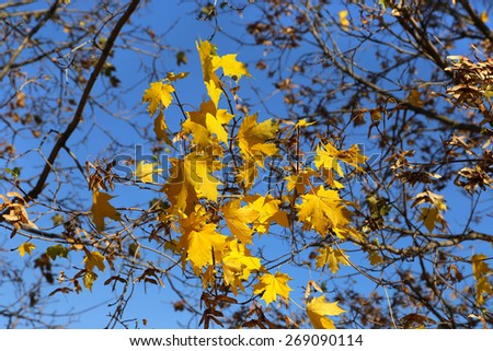 Branch with yellow foliage of autumn maple - stock photo