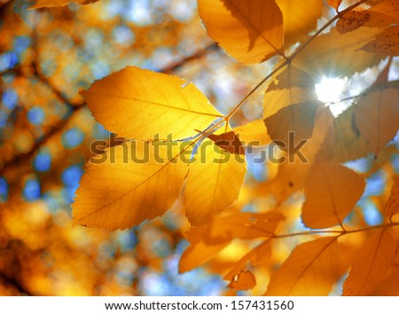 Branch with yellow leaves against the sunlight - stock photo