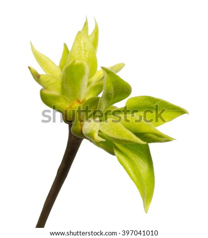 Branch with young green leaves and sprout  isolated on white - stock photo