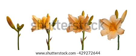 Branch yellow-orange miniature hemerocallis bud  growing in germination sequence  on a white background isolated - stock photo
