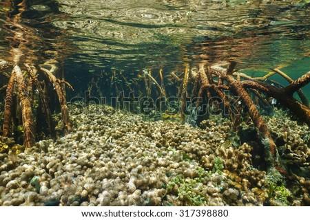 Branched finger coral colonies between mangrove roots underwater, Atlantic ocean - stock photo