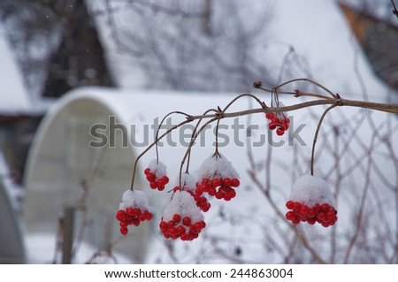 branches and berry-clusters of viburnum in a small rural garden in back-yard - stock photo