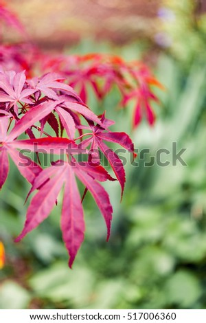 Branches and bright red leaves of a Japanese Maple Acer tree against a green leafy background