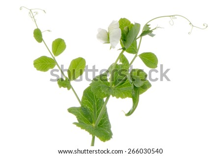 Branches and flower of green pea on white background - stock photo