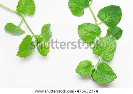 Branches and leafs of the mint on white background. Melissa officinalis.