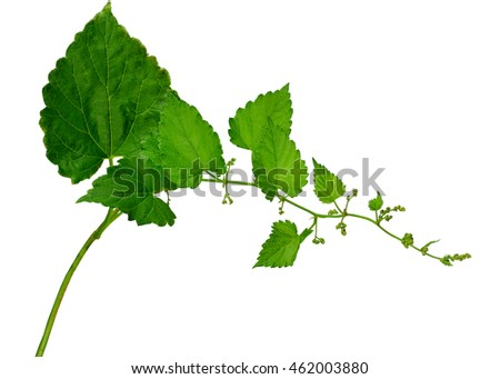 Branches hop. Very young buds of hops with leaves isolated on white background without shadows. Fresh green hops with cones . Beer production ingredient. Brewing