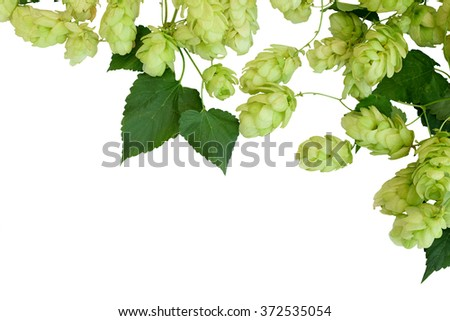 Branches hop with leaves isolated on white background without shadows. Fresh green hops with cones .  Beer production ingredient. Brewing - stock photo