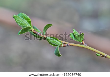 Branches of a birch tree with fresh new leaves in the spring - stock photo