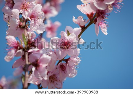 Branches of a blossoming peach on a background blue sky