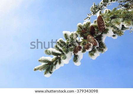 branches of a Christmas tree covered with snow and cones natural spruce winter background - stock photo