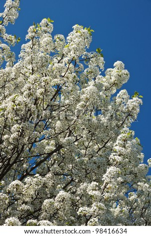 Branches of a dogwood tree filled with white blossoms in full vigor set against a rich deep blue sky