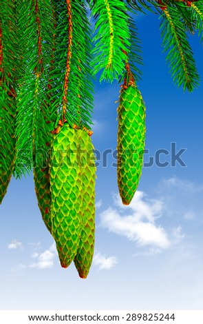 Branches of a fir tree with cones photographed against the blue sky - stock photo