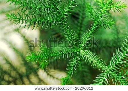 Branches of a small pine tree