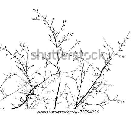 branches of a tree without leaves in spring on white background - stock photo