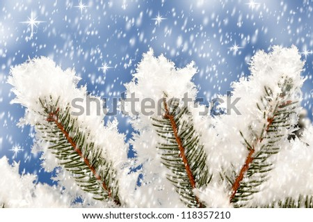 Branches of a winter spruce tree - stock photo