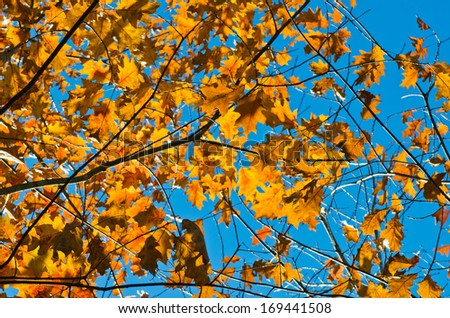 Branches of American oak in autumn