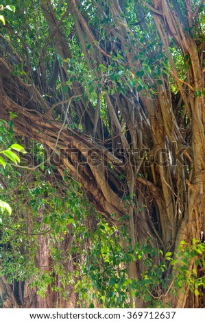 Branches of banyan tree with roots pattern in nature
