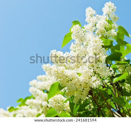 Branches of blooming white lilac against cloudless blue sky - stock photo