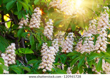 branches of blossoming chestnut tree with sun beams - stock photo