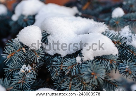 Branches of blue spruce is covered with snow