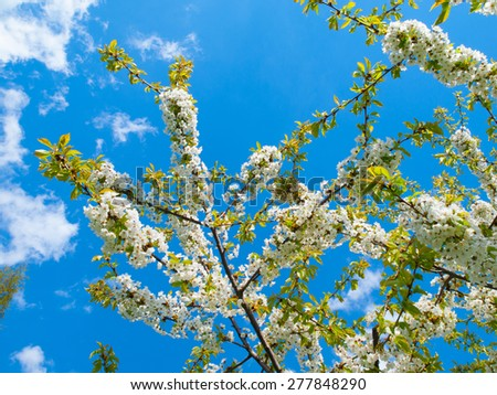 Branches of cherry blossoms against the blue sky - stock photo
